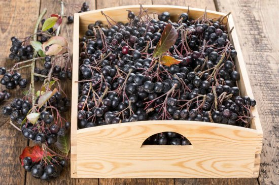 Хранение черноплодной рябины