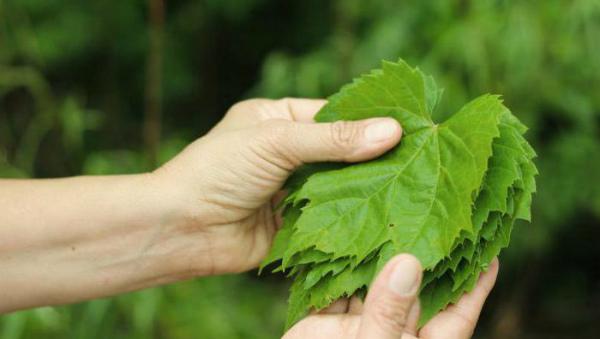 Виноградные листья – полезные свойства
