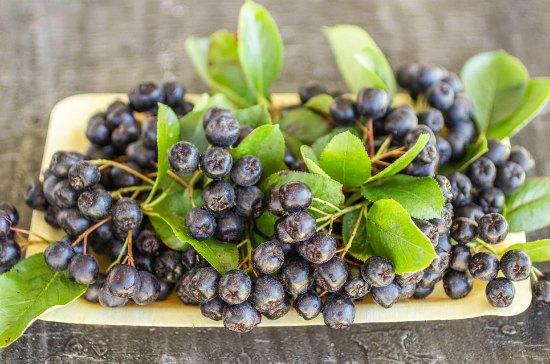 Польза листьев черноплодной рябины