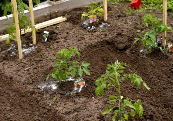 Высадка рассады томатов на постоянное место