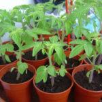 Рассада помидор: выращивание в домашних условиях