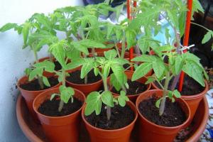 Как вырастить рассаду помидоров в домашних условиях: правила ухода и выращивания