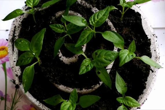 Выращивание рассады перца в «улитке»