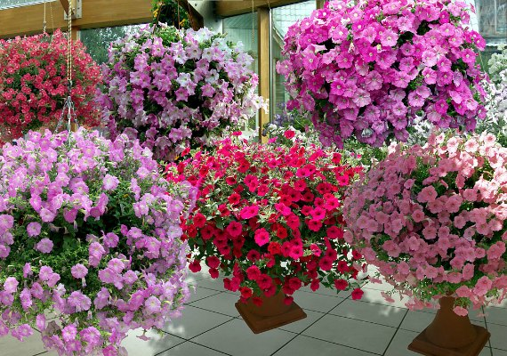 Как повысить пышность цветения петунии