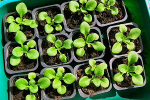Как вырастить рассаду петунии из семян в домашних условиях, фото, видео