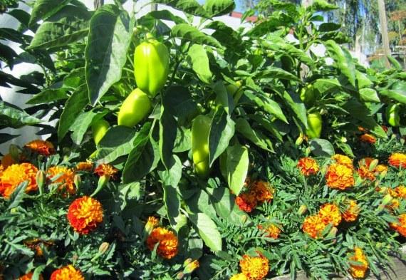 Цветы отпугивающие вредителей рассады перца