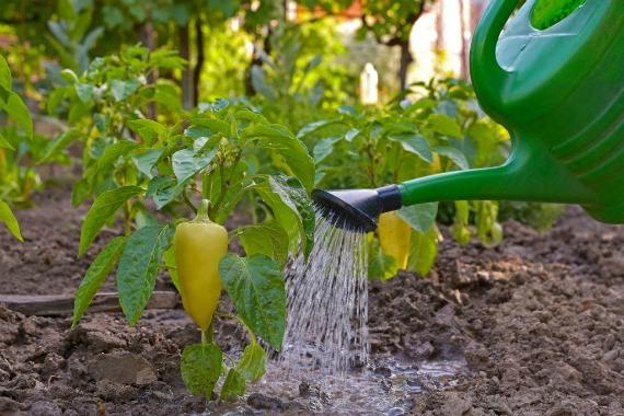 Чем подкормить перцы во время цветения и плодоношения