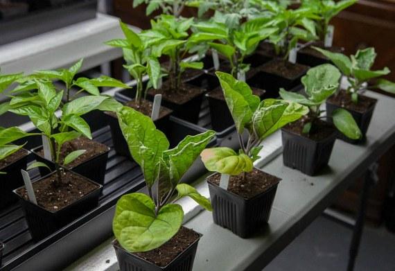 Выращивание рассады баклажанов. Пошаговая инструкция