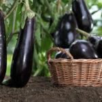 Уход за баклажанами в теплице от посадки до урожая