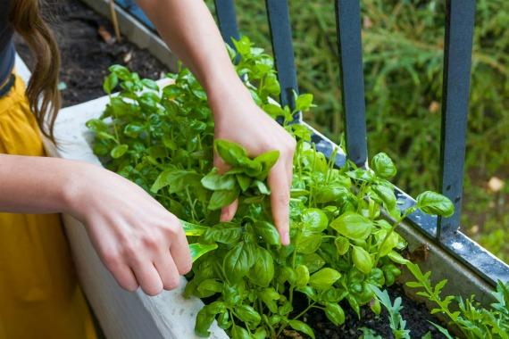 Когда можно собирать урожай базилика на подоконнике