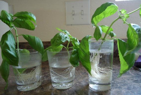 Выращивание с помощью черенкования