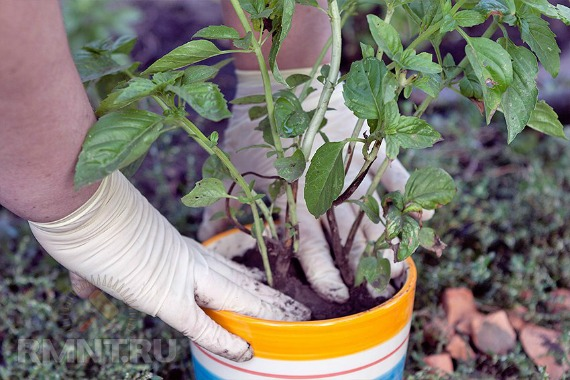 Базилик как выращивать