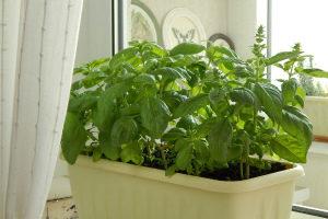 Базилик на подоконнике выращивание из семян в домашних условиях, зимой с видео