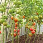 Уход за помидорами в теплице от посадки до урожая