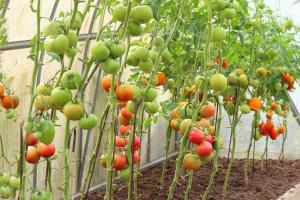 Как ухаживать за помидорами в теплице: 6 важных моментов