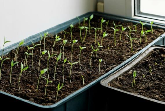 Посев баклажанов в рассадные ящики