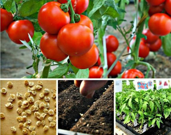 Когда сеять помидоры на рассаду по Лунному календарю в 2020 году