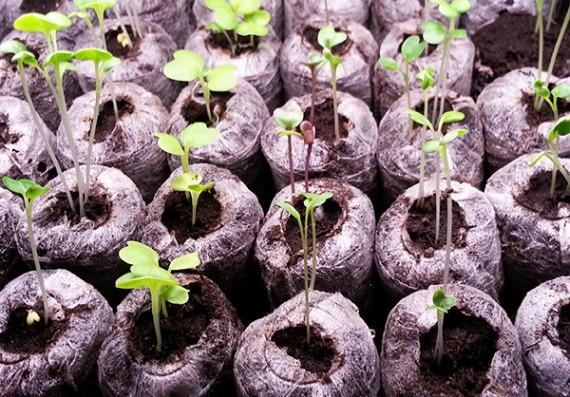 Посев баклажанов в торфяные таблетки