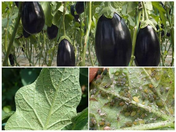 Можно ли выращивать баклажаны в теплице