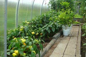 Выращивание перца в теплице из поликарбоната вормирование, полив, уход пошагово Видео