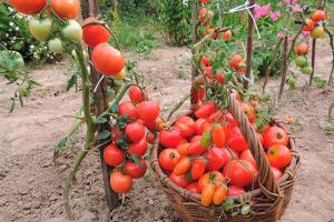 уход за помидорами посадки до урожая