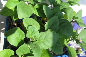 Как выращивать баклажаны от рассады до урожая
