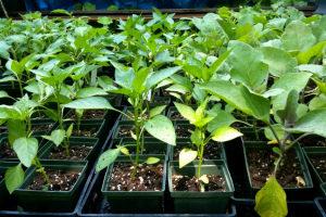 Как вырастить рассаду перца в домашних условиях: пошаговая инструкция, фото, видео