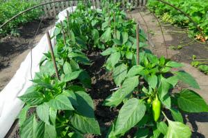 Горький перец как правильно посадить и ухаживать в открытом грунте