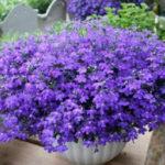 Лобелия — выращивание из семян, когда сажать на рассаду