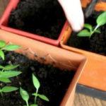 Как правильно пикировать рассаду перца