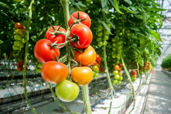 Особенности и преимущества высокорослых томатов