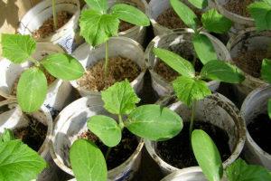 Выращивание рассады огурцов в домашних условиях для открытого грунта, для теплиц, без земли, пошагово с фото