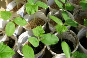 Как вырастить рассаду огурцов в домашних условиях: пошаговая инструкция с фото и видео