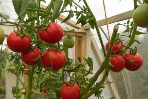 Высокорослые томаты для открытого грунта: лучшие сорта с описанием и фото