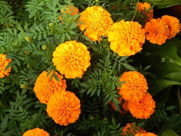 Бархатцы отклоненные сорт Оранжевое пламя