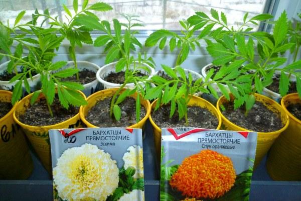 Выращивание бархатцев из семян пошагово