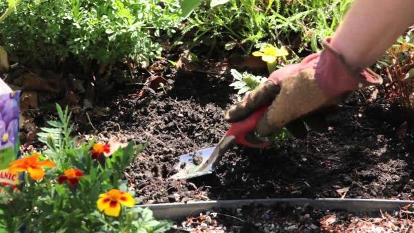 Когда высаживать рассаду бархатцев в открытый грунт