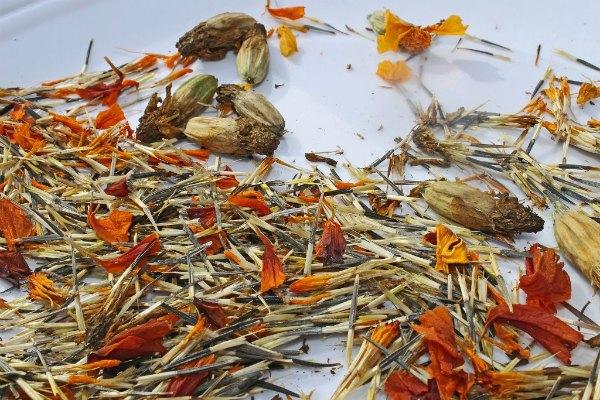 Как и когда собирать свои семена бархатцев