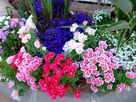 С какими цветами сочетается на клумбе