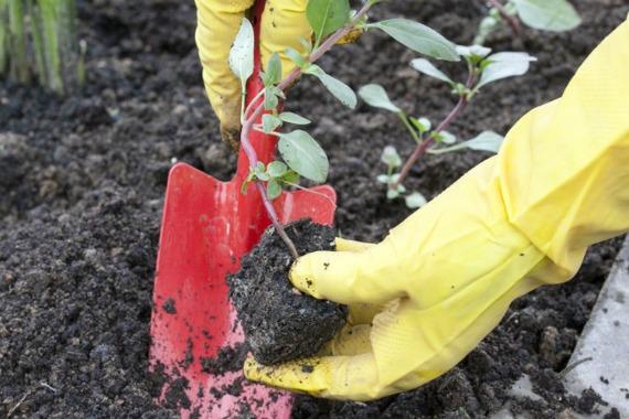 Когда высаживать рассаду годеции в открытый грунт