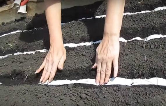 Особенности выращивания лука Эксибишен в открытом грунте