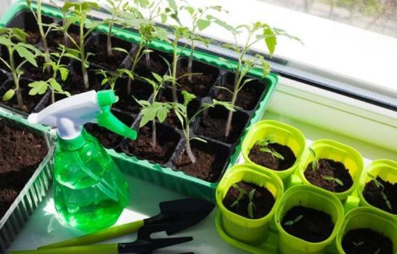 Чем подкормить рассаду, если она тонкая и плохо растет