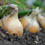 Лук Эксибишен — выращивание через рассаду