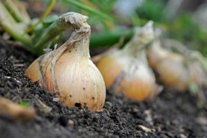 Лук Эксибишен – выращивание из семян, когда сажать