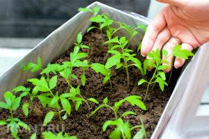 Подкормка рассады помидор в домашних условиях Как и чем правильно подкормить