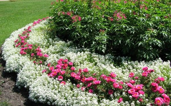 С какими цветами сочетают Алиссум на участке