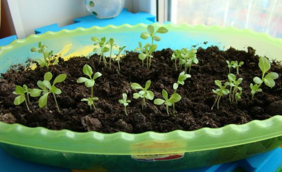 Как посадить астры на рассаду в домашних условиях