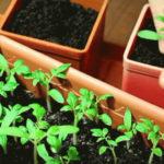 Как пикировать рассаду помидоров в домашних условиях