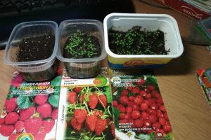Как правильно вырастить клубнику из семян в домашних условиях на рассаду Когда сажать Сорта Фото