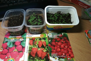Как выращивать рассаду клубники из семян